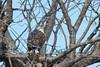 Adult Ferruginous hawk (getting back ( slowly )) Tags: adult ferruginous hawk manymerries