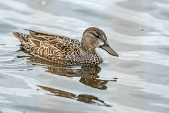 Blue-winged Teal (Female) (jim sonia) Tags: birds massachusetts places usa westnewbury ashstreetswamp bird bluewingedteal female