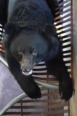 V193 Tim(1) (Animals Asia) Tags: animalsasia vietnam vbrc vietnambearrescuecentre moonbear wishcometrue rehabilitation endbearbilefarming