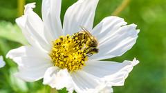 IMG_5261 (::nicolas ferrand simonnot::) Tags: sigma 105mm f28 macro ex dg os hsm paris | 2018 bokeh depth field dof nature close up insect bee wasp color green yellow purple abeille papillon fleur insecte plante vivid
