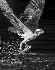Osprey with catch (Kathrin Swoboda) Tags: osprey fish bird water flight catch