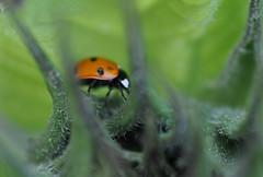 Sunflower journey (katy1279) Tags: ladybirdinsectsunflowernaturemacro tamron90mmtamron90mm28di
