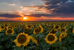 Lovely Summer Sunset in the Sunflower Field (NickSouvall) Tags: summer night sun set sunset light warm color rays beams orange pink red sky dramatic colorful clouds yellow flower field sunflower landscape nature outdoor colorado photographer photo