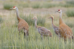 A family on edge... (danielusescanon) Tags: wild sandhillcrane family colt antigonecanadensis gruiformes gruidae belugaslough homer alaska