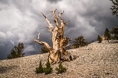 Ancient Bristlecone Pine Forest Fine Art Landscape Photography! Breaking Summer Thunderstorm California Mountains! White Mountains California Fine Art Nature Photos! Sony A7RII & Sony SEL24240 FE 24-240mm f/3.5-6.3 OSS Zoom Lens! Elliot McGucken Fine Art! (45SURF Hero's Odyssey Mythology Landscapes & Godde) Tags: ancient bristlecone pine forest fine art landscape photography breaking summer thunderstorm california mountains white nature photos sony a7rii sel24240 fe 24240mm f3563 oss zoom lens