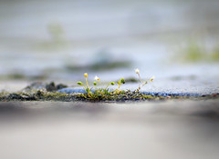 Between the paving stones (alutik) Tags: grass weed plant flowers floral nature road pavingstones pavement bright dof depthoffield canon 70d macro closeup tamronaf70300mmf456 indetail outdoors