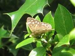 speckled wood butterfly (river crane sanctuary) Tags: speckled wood butterfly rivercranesanctuary