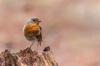 European Robin / Roodborstje (Erithacus rubecula)