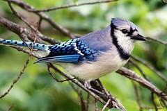 Blue Jay (Anne Ahearne) Tags: wild animal nature wildlife bird blue jay bluejay tree songbird birdwatching