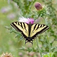 Swallowtail Butterfly (dcstep) Tags: a7r7973dxo butterfly swallowtailbutterfly cherrycreekstatepark colorado usa aurora nature urban urbannature sonya7riii fe100400mmf4556gmoss fe20xteleconverter allrightsreserved copyright2018davidcstephens dxophotolab21 dxoprimenoisereduction