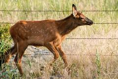 Elk Calf (Bernie Duhamel) Tags: calf elk colorado coloradowildlife wildlife sonya9 sonyfe100400mm frontrange greatphotographers teamsony rockymountains evergreen mountains bernie duhamel