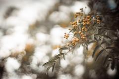 Beeren (ponyQ) Tags: berries tree garden plant vintagelens revuenon1255m nature