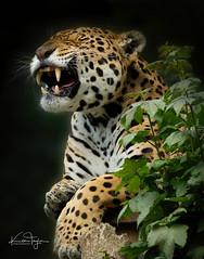 Chincha (yadrad) Tags: bigcats cats zoo jaguar carnivore dartmoorzoologicalpark ngc animal spots