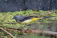 Grey Wagtail (terrylaws526) Tags: birds greywagtail wildlife