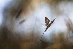 (Mathieu Calvet) Tags: macro k3 pentaxk3 pentaxart pentaxkpark justpentax proxy bokeh papillon nature midipyrénées occitanie wildpapillon butterfly