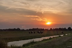 Sunset on a very hot day (Max Jongkoen) Tags: sunset rural cows meadows thenetherlands plasticfantastic 50mm canoneos40d