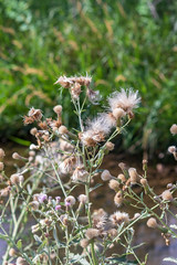 Dandelion Seeds (mmarquardt333) Tags: wildflower lushfoliage flora uncultivated