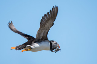 Puffin Fratercula arctica Flying Home With Sand eels