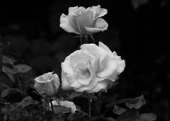 17Jun18 Three Roses BW1 (Daisy Waring World) Tags: roses blackandwhite