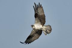 _A734954 (bram-sowers) Tags: sonyfe2470gm sonyfe100400mmgm sonya7riii warsawvirginia rappahannockriver eagle osprey tycho chez