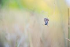 """Fragile gifts"" (Joe Effendi (Always Late!)) Tags: effendi fujifilm fujix xt10 computarmctv50mmf13 cmount vlinder butterfly papillon blauwtjes blauwtje commonblue florafauna nature natuur natur outdoor macro closeup depthoffield dof bokeh august augustus 2018"
