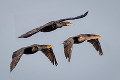 Double Crested Cormorants (tresed47) Tags: 2018 201807jul 20180718newjerseybirds birds canon7dmkii content cormorant ebforsythenwr folder july newjersey peterscamera petersphotos places season summer takenby us