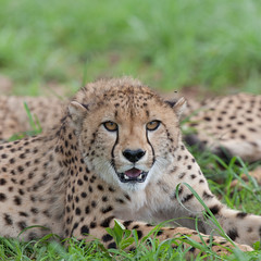 Cheetahs (annick vanderschelden) Tags: cheetah acinonyxjubatus cat carnivore cupmale grass green spotted felinae africa conservation fly nature wilderness mammal
