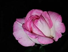 Nuit rose (Marvinette (passe en free)) Tags: macro flore fleurs nature france rosier roseraie jardin roses garden limousin nuit hautevienne fleur plant plants plante night