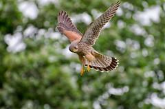 Kestrel Hovering (toasterjones) Tags: kestrel voles hover raptor falcon bristol hunting