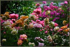 Rosige Grüße ... (Kindergartenkinder 2018) Tags: rosen rosengarten seppenrade kindergartenkinder