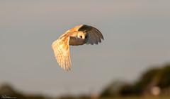 Bright Eyed Barn Owl (Steve (Hooky) Waddingham) Tags: stevenwaddinghamphotography bird british countryside coast nature wild wildlife hunting voles mice morning prey owl