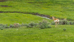 KEEPING WATCH (Sandy Hill :-)) Tags: yellowstonenationalpark yellowstone pronghorn pronghornantelope wildlife nature green landscape spring sandyhillphotography
