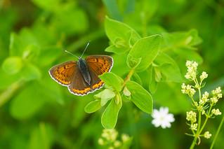 female violet copper