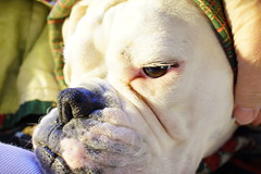 Ooh Grandma, what brown eyes you have (Bl.Mtns.Grandma) Tags: ddogchal boxer dog blanket