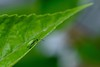 Gorgeous Green (ladybugdiscovery) Tags: insect green gorgeous macro bokeh tiny