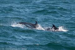 AHK_6435 (ah_kopelman) Tags: 2018 cresli creslivikingfleetwhalewatch delphinusdelphis montaukny shortbeakedcommondolphin vikingfleet vikingstarship whalewatch