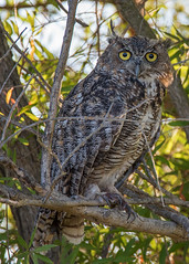 Horned Owl (Middle aged Nikonite) Tags: horned owl bird bokeh outdoor nature tree avian california nikon d750 close up yolo bypass