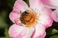 DSF_19584.jpg (christopher_west) Tags: macro 105mmf28 honeybee tc14e