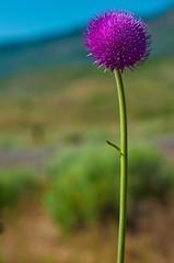Purple Thistle (karlsjohnson) Tags: desert flowers karl nature thistle travel oregon object usa