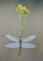 Libellule (guiguid45) Tags: nature sauvage insectes libellules loiret d810 nikon 150mmf28 sigma macro proxi orthétrumbleuissant orthetrumcoerulescens