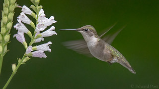 Ruby-throated Hummingbird (Archilochus colubris) at an Obedient Plant (Physostegia virginiana)