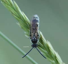 hymenoptera (Phil Arachno) Tags: greece gialova peleponnes griechenland arthropoda hymenoptera insecta