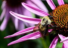 Pollen Collecting (pjpink) Tags: pink orange coneflower flower blooming bee insect gardens lewisginterbotanicalgardens lewisginter lewisginterbotanicalgarden northside rva richmond virginia june 2018 summer pjpink 2catswithcameras