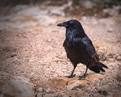 Grand Canyon-7995-Edit (Michael-Wilson) Tags: raven bird wildlife michaelwilson grandcanyon animal portait arizona southwest crow