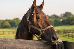 Kalarama saddlebred (sniggie) Tags: kalarama kalaramafarm kentucky saddlebred springfield washingtoncounty harnessracing horse saddlebredchampions saddlebredhorse earlymorning mare