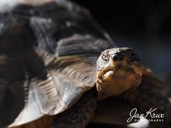 Time To Get Moving ... (Jan-Krux Photography - thx for 5Mio+ views) Tags: turtle schildkroete morning frueh bonteboknaturereserve sanparks southafricannationalparks animal tier echse olympus omd em1 frei wild natur nature fauna