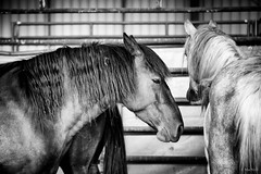 Mustang and Burro Adoption (Jen MacNeill) Tags: mustang wild horse horses equine blm adoption nature animals bnw black white