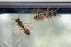 Feldwespen am Fenster (Veit Schagow) Tags: vasp wespe feldwespe insekt