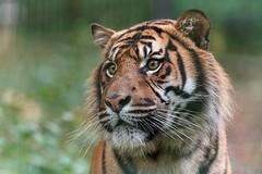 le regard perdu (rondoudou87) Tags: tigre tiger portrait pentax k1 parc park parcdureynou zoo reynou nature natur bokeh green vert smcpda300mmf40edifsdm sauvage wildlife wild felin rondoudou87