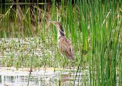 Furtive Fisher (Patricia Henschen) Tags: americanbittern american bittern wetland reflection water hutton lake nationalwildliferefuge huttonlake usfishwildlife bird laramie wyoming